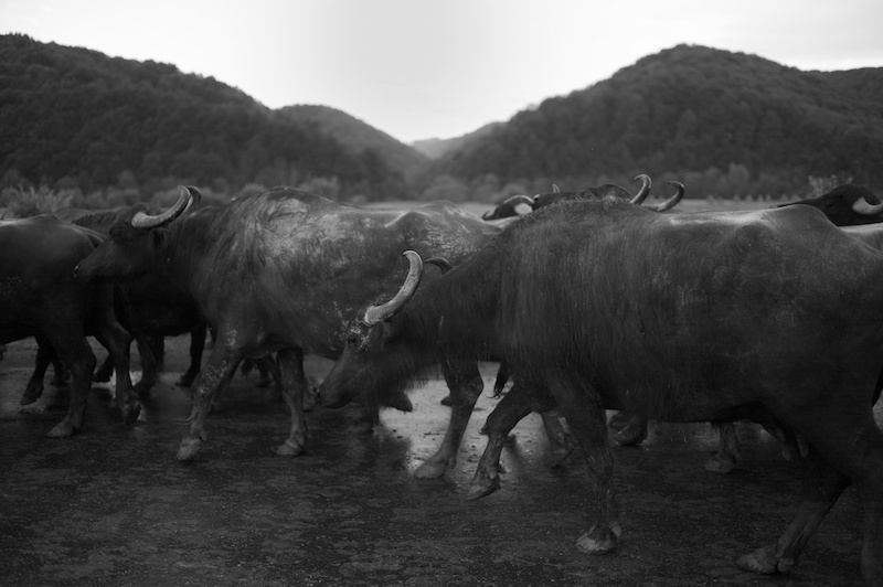 Water buffaloes on a country road