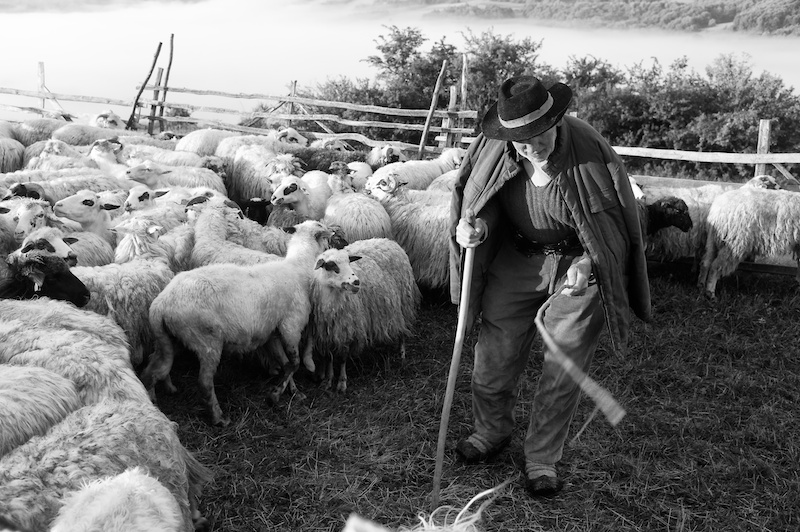 A shepherd tending his flock