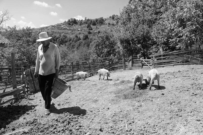 A pig farmer tending his animals in Romania, Maramures county