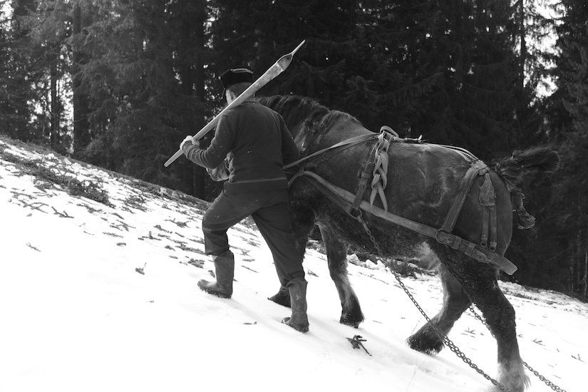 Traditional Romanian Forestry horse