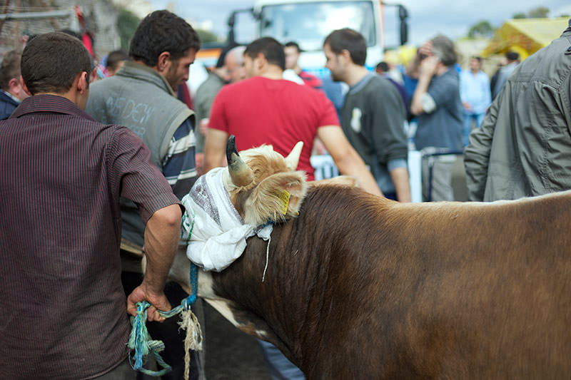 a blind folded cow being led to the sacrifice station