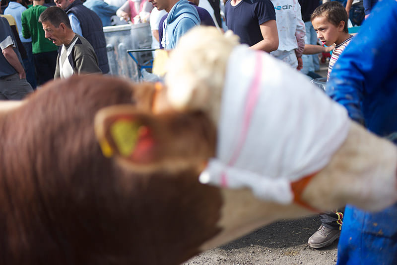 a blindfolded cow being led to it's sacrifice in Istanbul