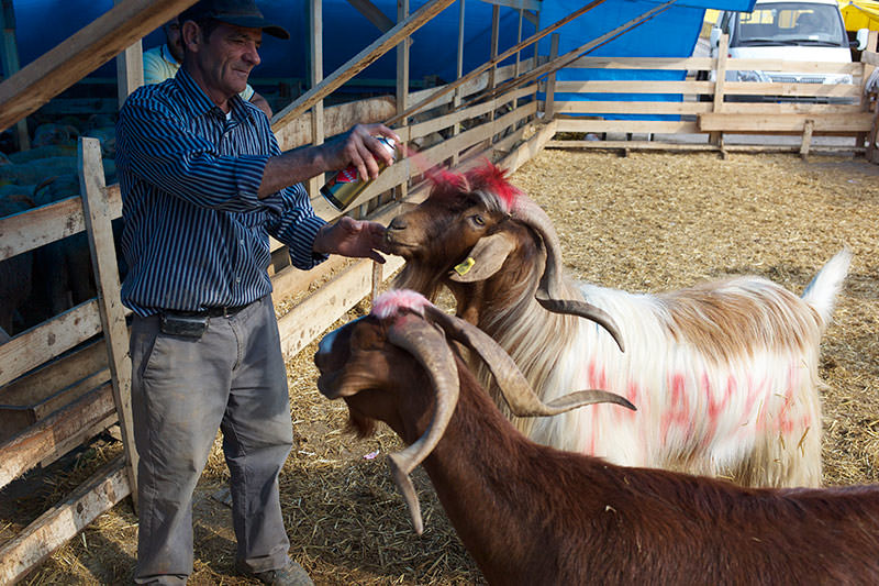 Goats being sprayed to indicate that they have been sold for the sacrifice