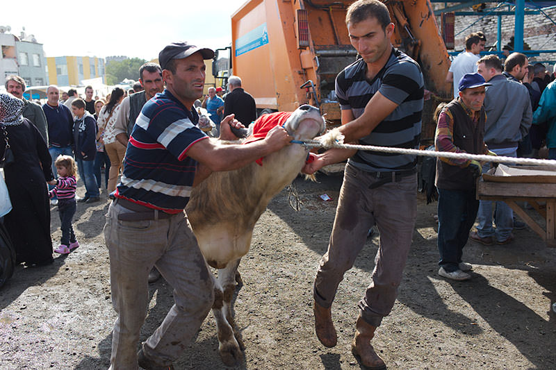 The Sacrifice, Istanbul 2012, dragging a cow to a sacrificial post